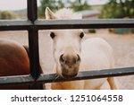 A Cute White Foal Pokes His...