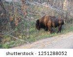 single powerful buffalo   bison ... | Shutterstock . vector #1251288052