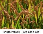 the autumn rice fields   | Shutterstock . vector #1251355135