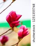 magnolia flower blooming | Shutterstock . vector #1251355768