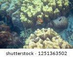 yellow butterflyfish in corals. ...   Shutterstock . vector #1251363502