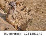 meerkat  suricate  suricata...   Shutterstock . vector #1251381142