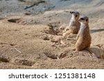 meerkat  suricate  suricata...   Shutterstock . vector #1251381148