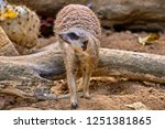 meerkat  suricate  suricata...   Shutterstock . vector #1251381865