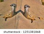meerkat  suricate  suricata...   Shutterstock . vector #1251381868