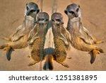 meerkat  suricate  suricata...   Shutterstock . vector #1251381895