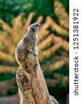 meerkat  suricate  suricata...   Shutterstock . vector #1251381922