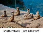 meerkat  suricate  suricata...   Shutterstock . vector #1251381925