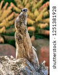 meerkat  suricate  suricata...   Shutterstock . vector #1251381928