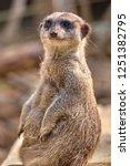 meerkat  suricate  suricata...   Shutterstock . vector #1251382795