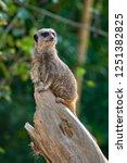 meerkat  suricate  suricata...   Shutterstock . vector #1251382825