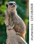meerkat  suricate  suricata...   Shutterstock . vector #1251382828