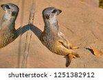 meerkat  suricate  suricata...   Shutterstock . vector #1251382912