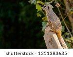 meerkat  suricate  suricata...   Shutterstock . vector #1251383635