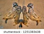meerkat  suricate  suricata...   Shutterstock . vector #1251383638