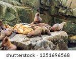 colony of sea lions  eumetopias ... | Shutterstock . vector #1251696568