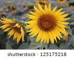 sunflower in the morning | Shutterstock . vector #125175218