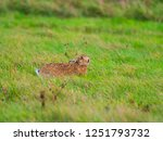 Stock photo a european hare lepus europaeus or brown hare hiding in long grass in a field 1251793732