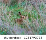 Stock photo a european hare lepus europaeus or brown hare hiding in long grass in a field 1251793735