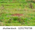 Stock photo a european hare lepus europaeus or brown hare hiding in long grass in a field 1251793738