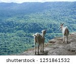 domestic goats on the rocks in... | Shutterstock . vector #1251861532