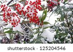 Winter Berries Coated With Snow
