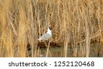 gull in the reed  | Shutterstock . vector #1252120468