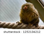 marmoset on rope | Shutterstock . vector #1252136212
