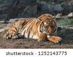 Tiger Sleeping With Head On...