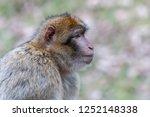profile portrait of barbary... | Shutterstock . vector #1252148338