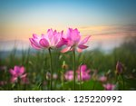 Beautiful Lotus Flower In...