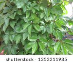 maiden grapes with leaves in... | Shutterstock . vector #1252211935