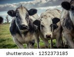 curious shaggy cows staring...   Shutterstock . vector #1252373185