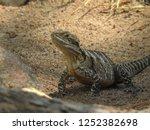 australian water dragon on... | Shutterstock . vector #1252382698