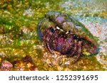 hermit crab  paguroidea  on the ... | Shutterstock . vector #1252391695