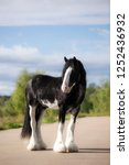 Heavy Horse Clydesdale Stallion ...