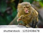 marmoset closeup view | Shutterstock . vector #1252438678