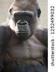 beautiful portrait of a gorilla.... | Shutterstock . vector #1252499032