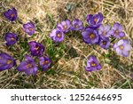 blooming violet and blue... | Shutterstock . vector #1252646695