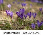 blooming violet and blue... | Shutterstock . vector #1252646698