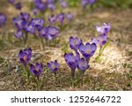 blooming violet and blue... | Shutterstock . vector #1252646722