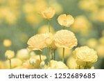 Photograph Of Yellow Ranunculu...