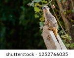 meerkat  suricate  suricata...   Shutterstock . vector #1252766035