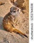meerkat  suricate  suricata...   Shutterstock . vector #1252766038