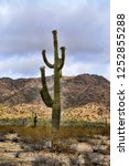 saguaro cactus cereus giganteus ... | Shutterstock . vector #1252855288