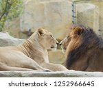 Portrait Of Lion And Lioness ...