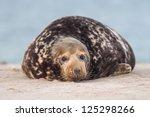 grey seal  halichoerus grypus  | Shutterstock . vector #125298266