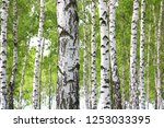 beautiful birch trees with... | Shutterstock . vector #1253033395