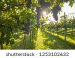 grape harvest italy | Shutterstock . vector #1253102632
