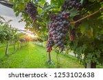 grape harvest italy | Shutterstock . vector #1253102638